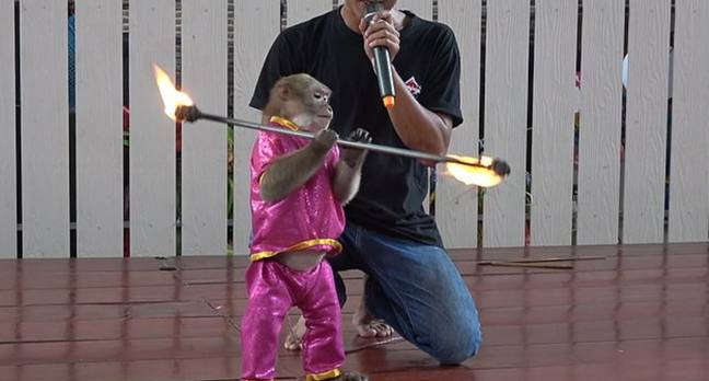 Monkeys Chained Up And Forced To Do Tricks With Fire For Tourists