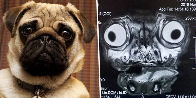 This Is What A Pug's MRI Scan Looks Like And It's Terrifying