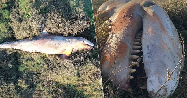 First Killer Whale In Nearly Two Decades Washes Up On UK Coast