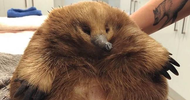 Eleanor The Giant Echidna Is So Chonky She Survived Getting Hit By Car