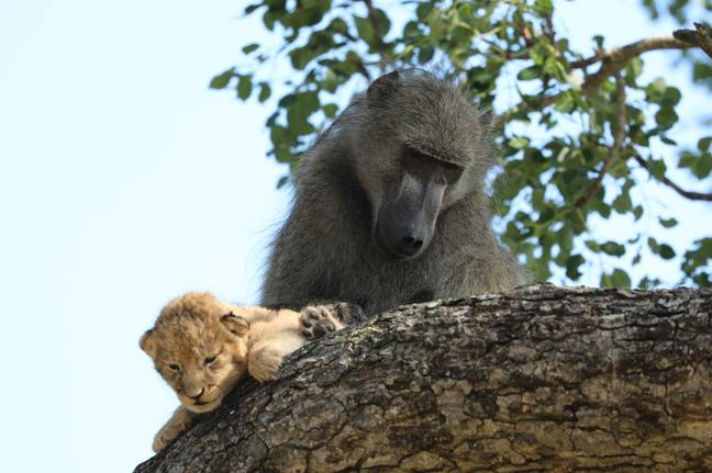 Baboon holds Lion King at the top of tree