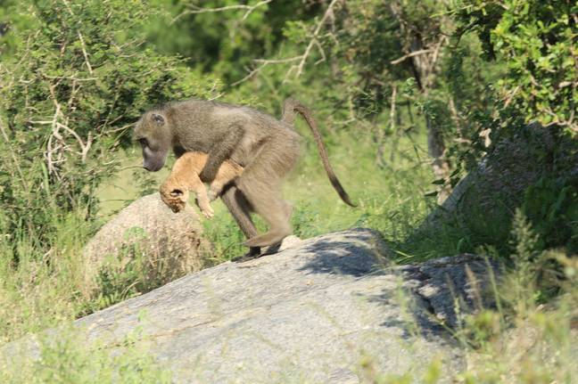 Baboon carrying lion cub in real life Lion King moment