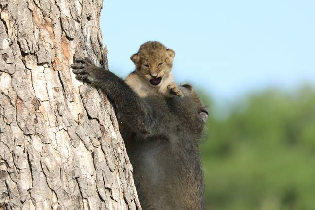 Baboon carrying Lion Cub up tree