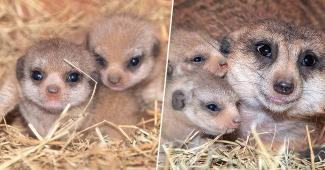 Meerkat Pups Born At Zoo Miami For The First Time Ever