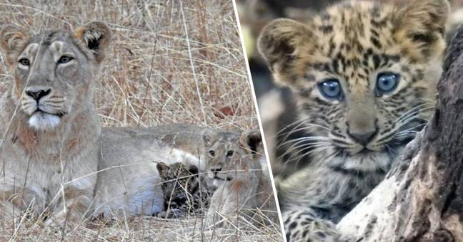 Lionness mother takes in leopard cub