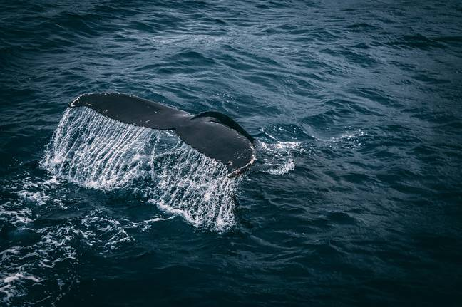 Blue Whales Bouncing Back From Brink Of Extinction After Decades Of Decline