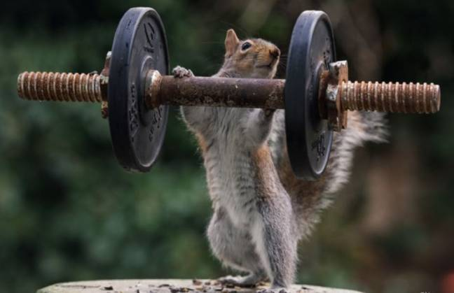Squirrel lifting weights