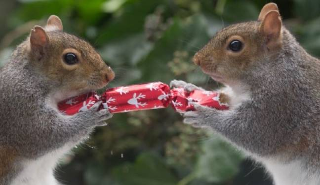 Two squirrels pulling Christmas cracker