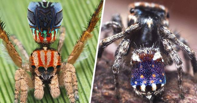 Seven New Species Of Stunning And Stylish Peacock Spiders Discovered In Australia