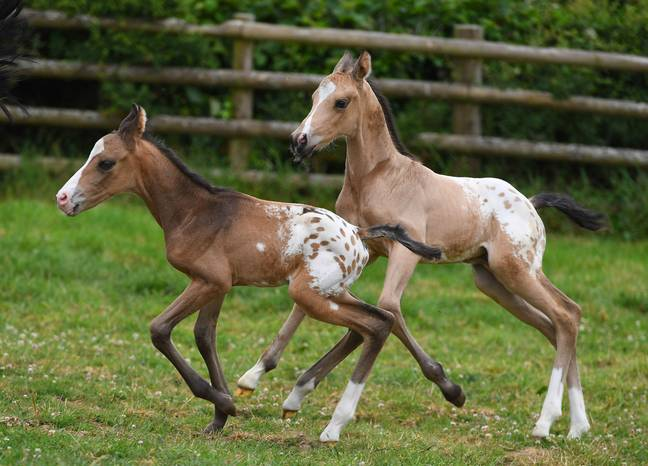 Horse That Gave Birth To Identical Twins Has Another Set Of Twins 18 Months Later
