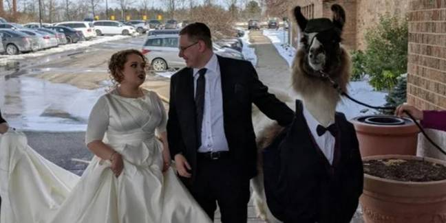 Ohio Man Brings Llama In Tuxedo To Sister's Wedding And She Is Not Amused
