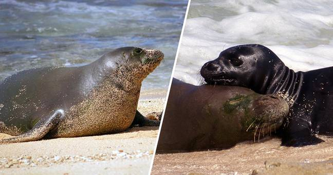 'Iconic' Monk Seal And Star Of Her Own Book, Honey Girl, Found Dead On Hawaii Beach