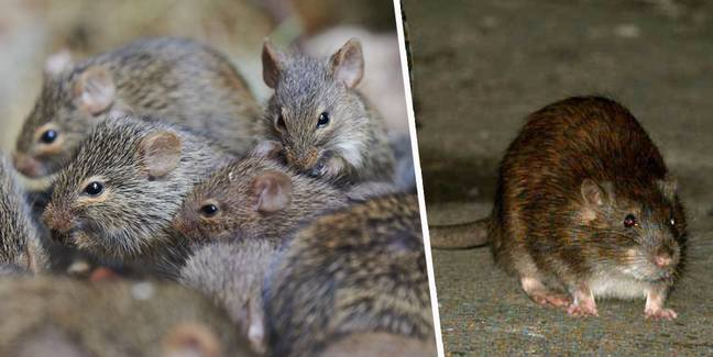 Expert Explains Why People Are Spotting More Rats During Quarantine