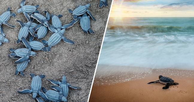 Sea Turtles Are Finally Thriving Now People Are Stuck Indoors
