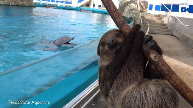 Dolphins Get Super Excited After Sloth Named Chico Taken On VIP Zoo Tour