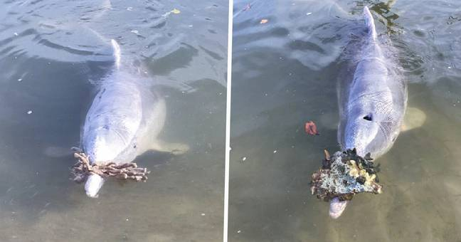 Pod Of Dolphins Bringing Ashore 'Gifts' From Sea Are Probably Just Hungry, Expert Says