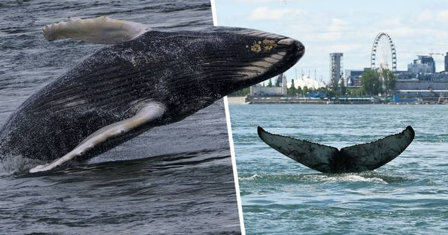 Humpback Whale Seen Swimming In Montreal River For First Time Ever
