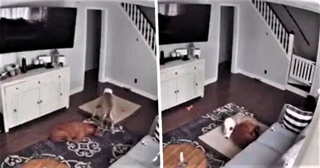 dog brings dog bed to sick brother 1