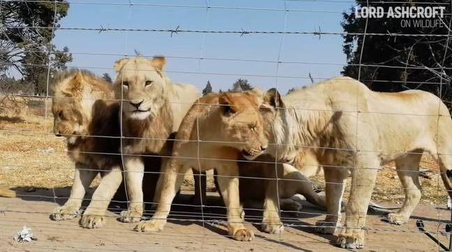 12,000 Lions Are Being Bred In Captivity To Be Hunted By Tourists