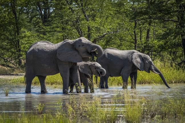 Hundreds Of Elephants Dead In Mysterious Mass Die-Off