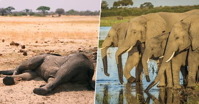 Hundreds Of Elephants Dead In Mysterious Mass Die-Off In Botswana