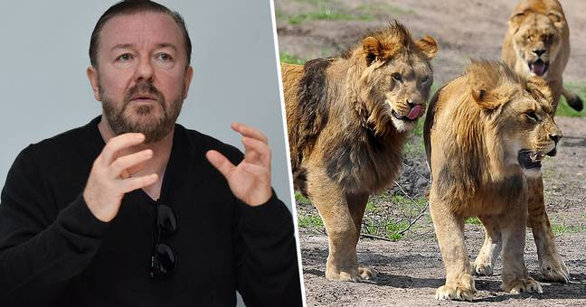 Ricky Gervais Wants To Be Eaten By Lions After He Dies