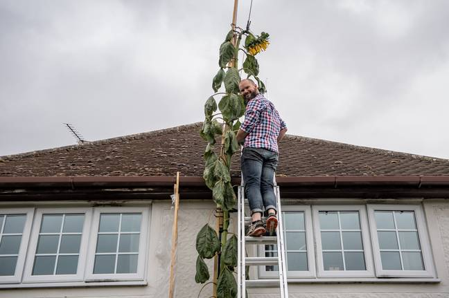 Dad standing on ladder at top of house to reach huge sunflower