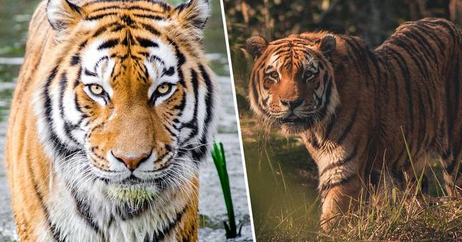 Tiger Population In India Doubles In Last 12 Years