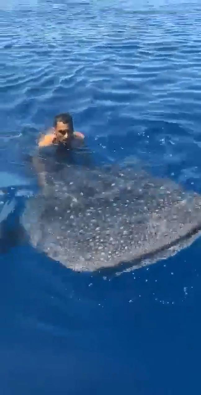 Man rides whale shark in Red Sea