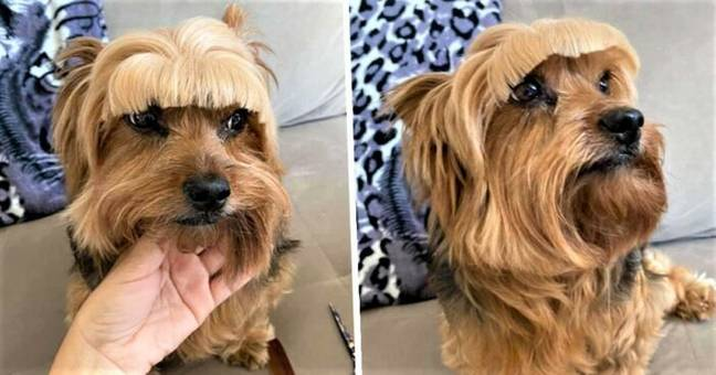 Woman Immediately Regrets Trying To Cut Dog's Hair By Herself