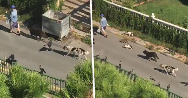 Woman Spotted Leading Parade Of Animals Down The Street