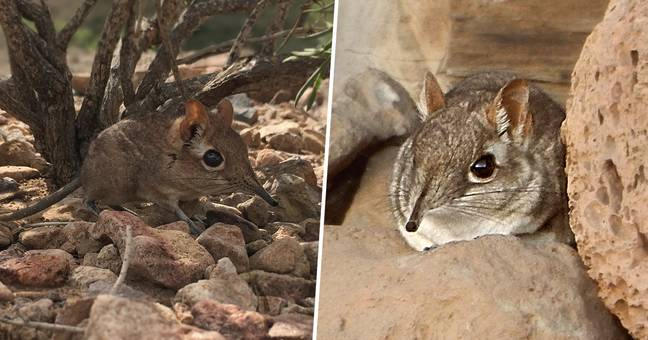 Tiny Elephant Shrew Species, Missing For 50 Years, Reappears In East Africa