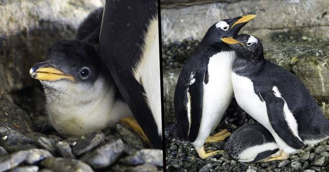 Same-Sex Penguin Couple Become Parents After Adopting Egg
