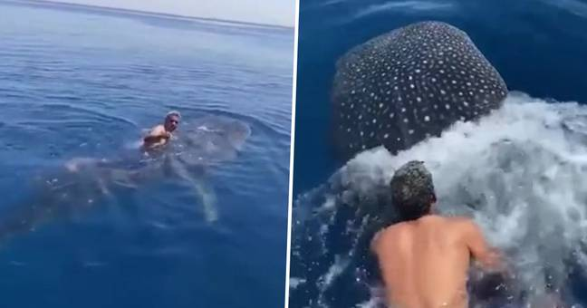 Saudi Man Filmed Riding Whale Shark By Clinging Onto Its Dorsal Fin