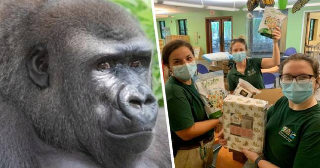 Louisiana Zoo Holds Baby Shower For Pregnant Gorilla