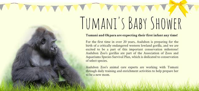zoo throwing baby shower for gorilla