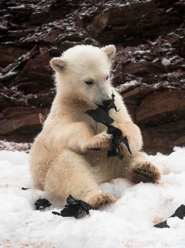 Hungry Polar Bears Chew On Plastic Bag In Heartbreaking Photos