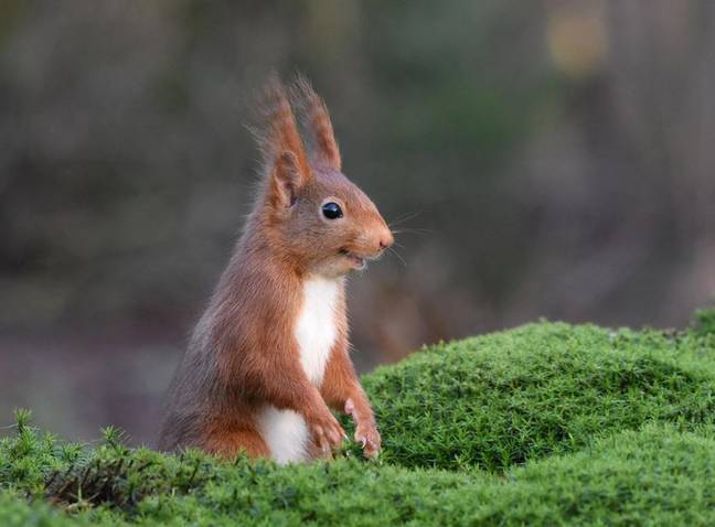 Squirrel has hair standing on end