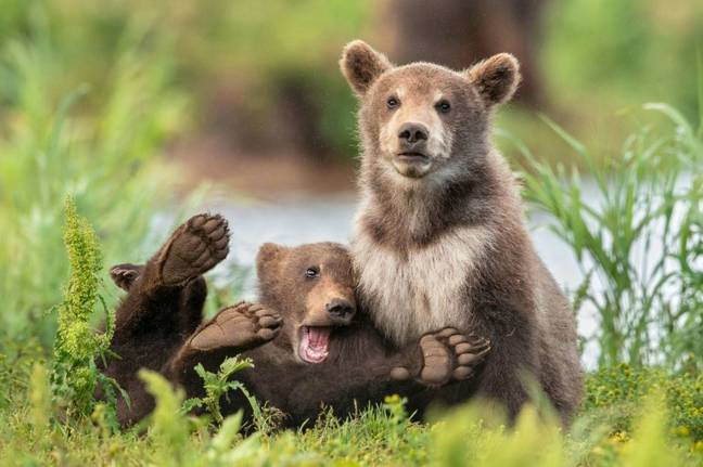 Bears look concerned and shocked