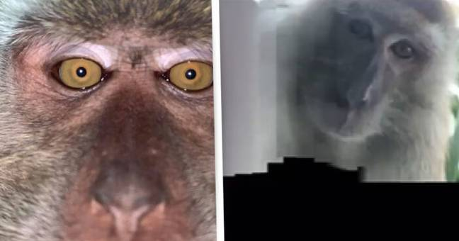 Man Finds Monkey Selfies On His Phone After They Stole It From His House