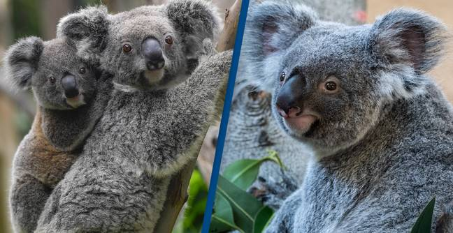 Koalas At Risk Of Becoming Extinct In New South Wales In Our Lifetime