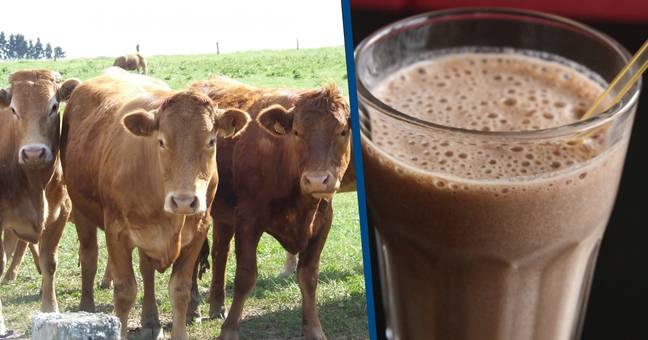Millions Of Americans Think Chocolate Milk Comes From Brown Cows