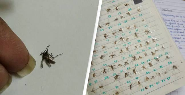 Girl Collects Every Mosquito She Ever Killed