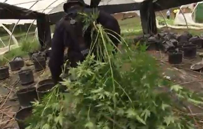 Police removing cannabis plants