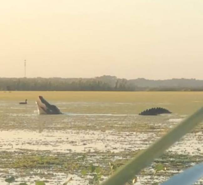 Huge 13ft Alligator Rises Out Of Water To Snatch Duck From Hunters