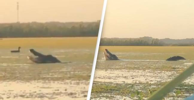 Huge 13ft Aligator Rises Out Of Water To Snatch Duck From Hunters