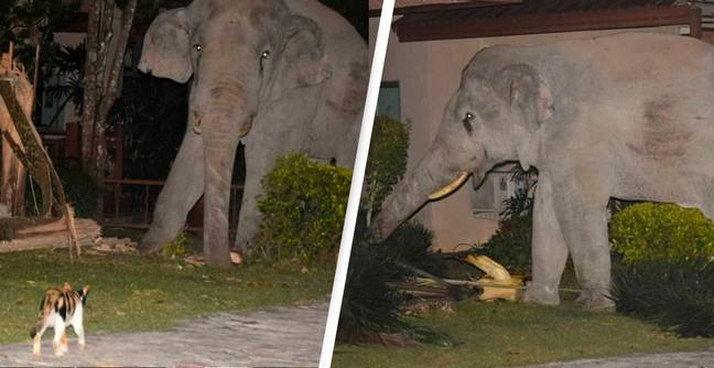 Cat Chases Away Elephant That Wandered Into Garden