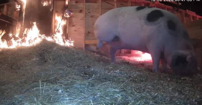 Ethel the pig with barn setting on fire