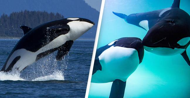 Killer Whale Boat Attacks 'Getting Worse and Worse,' Say Scientists