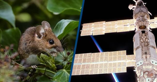 Scientists Sent Mice To Space And Discovered Protein That Could Slow Down Aging